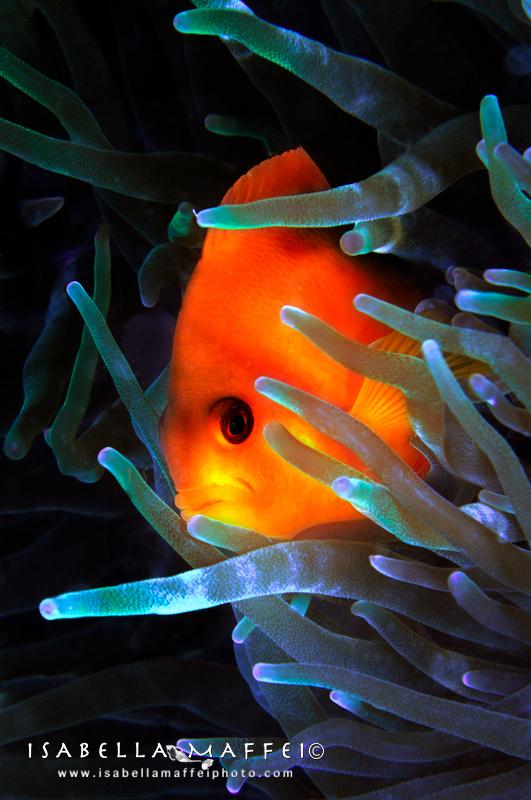 MYANMAR-CLOWN-FISH