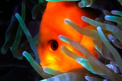 MYANMAR-CLOWN-FISH
