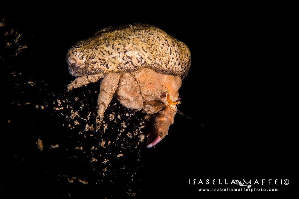 "<img alt=""Isabella Maffei-Numana-crab"">"
