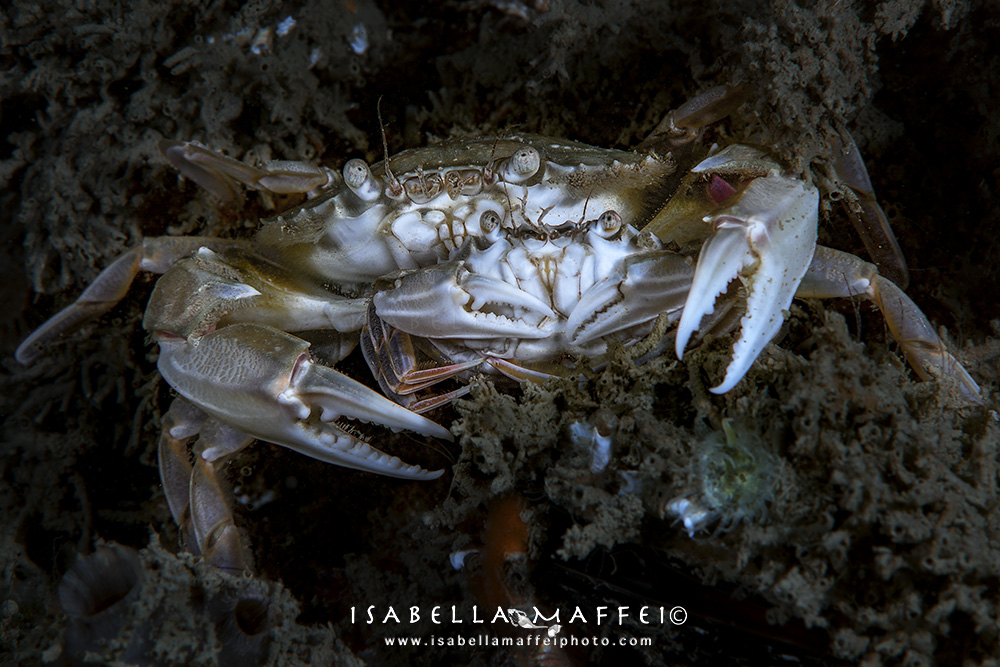 "<img alt=""Isabella Maffei-Numana-crabs"">"