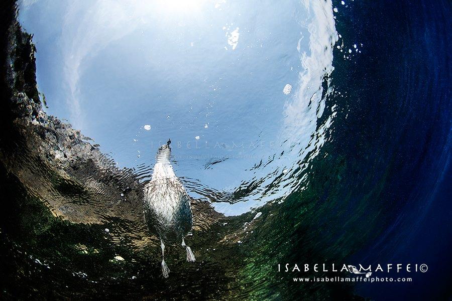 "<img src=""seagull"" alt="" a seagull is swimming isabella maffei underwater photographer "">"