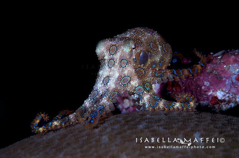 "<img src=""blue ring octopus"" alt="" blue ring octopus in Raja Ampat isabella maffei underwater photographer "">"