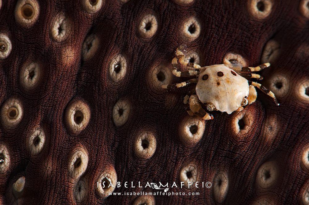 "<img src=""crab"" alt="" crab on sea cucumber isabella maffei underwater photographer "">"