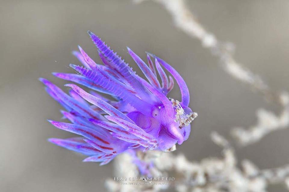 "<img src=""nudibranch"" alt="" nudibranch flabellina isabella maffei underwater photographer "">"