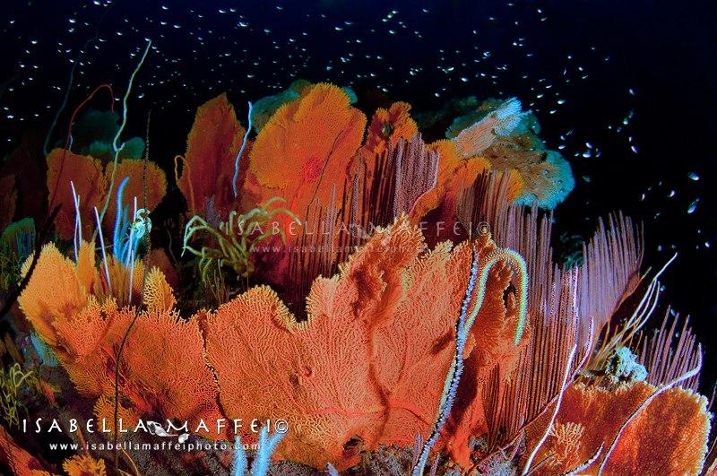 """<img src=""""sea fan forest """" alt="""" sea fan forest in Myanmar isabella maffei underwater photographer """">"""