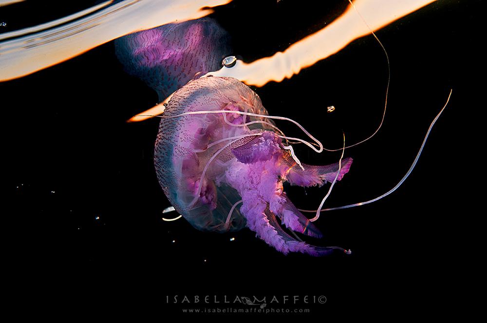 "<img src="" jellyfish "" alt="" jellyfish isabella maffei underwater photographer "">"