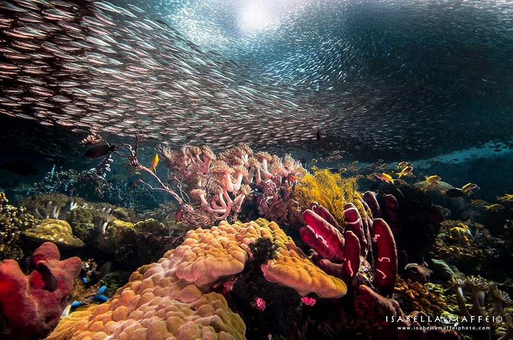 "<img src=""sardines run"" alt="" sardina run isabella maffei underwater photographer "">"
