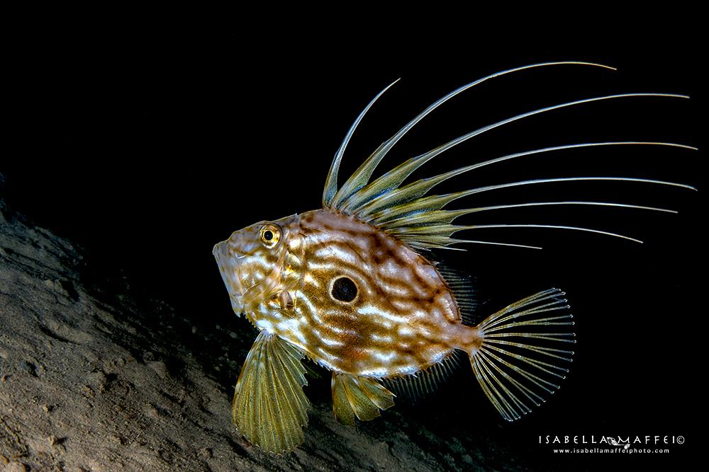 "<img src="" Saint Peter fish"" alt="" Saint Peter fish isabella maffei underwater photographer "">"