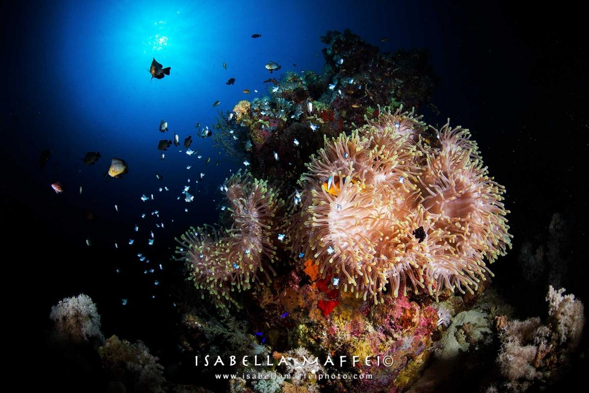 "<img src=""clown fish "" alt="" clown fish in anemon isabella maffei underwater photographer "">"