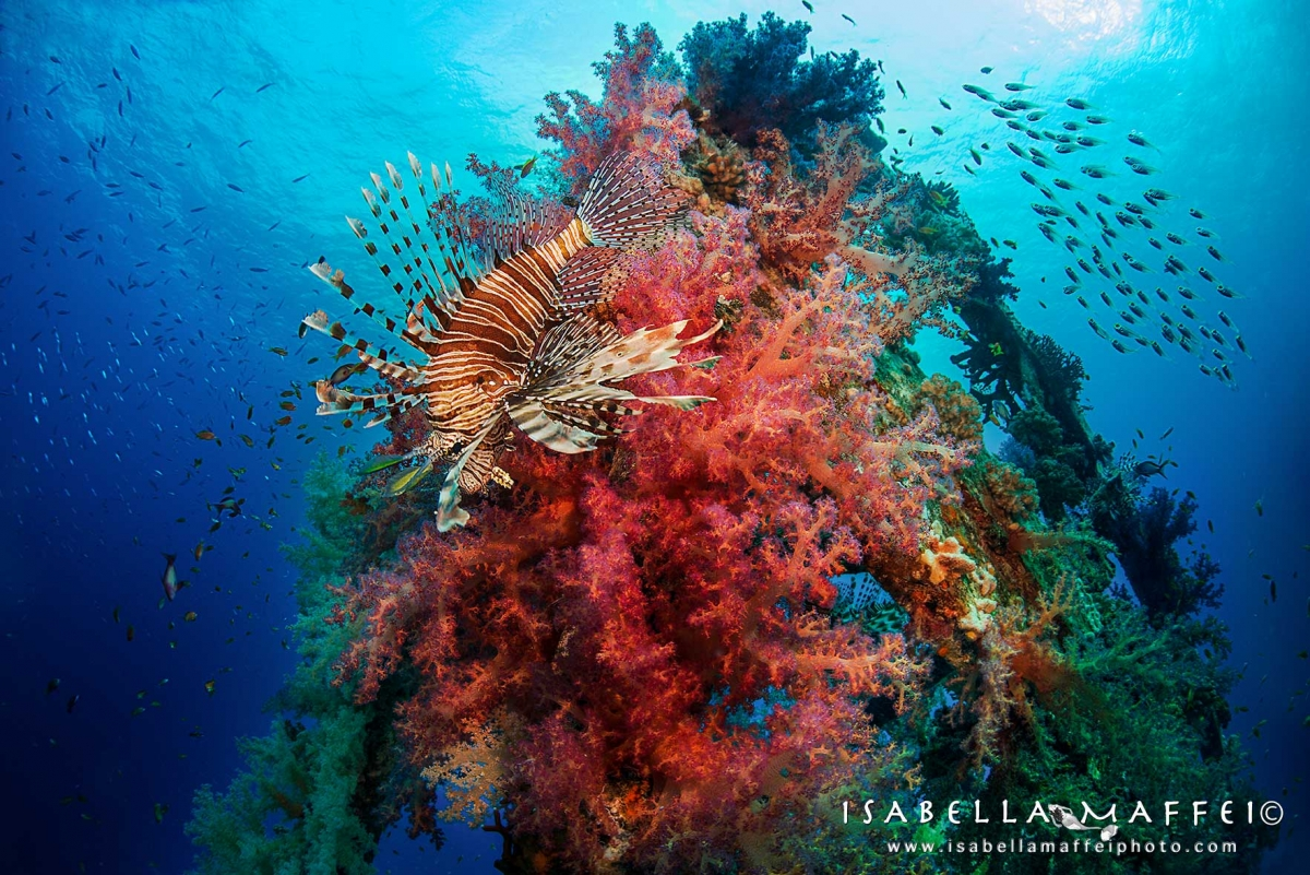 "<img src=""lion fish "" alt="" lion fish in a soft coral isabella maffei underwater photographer "">"