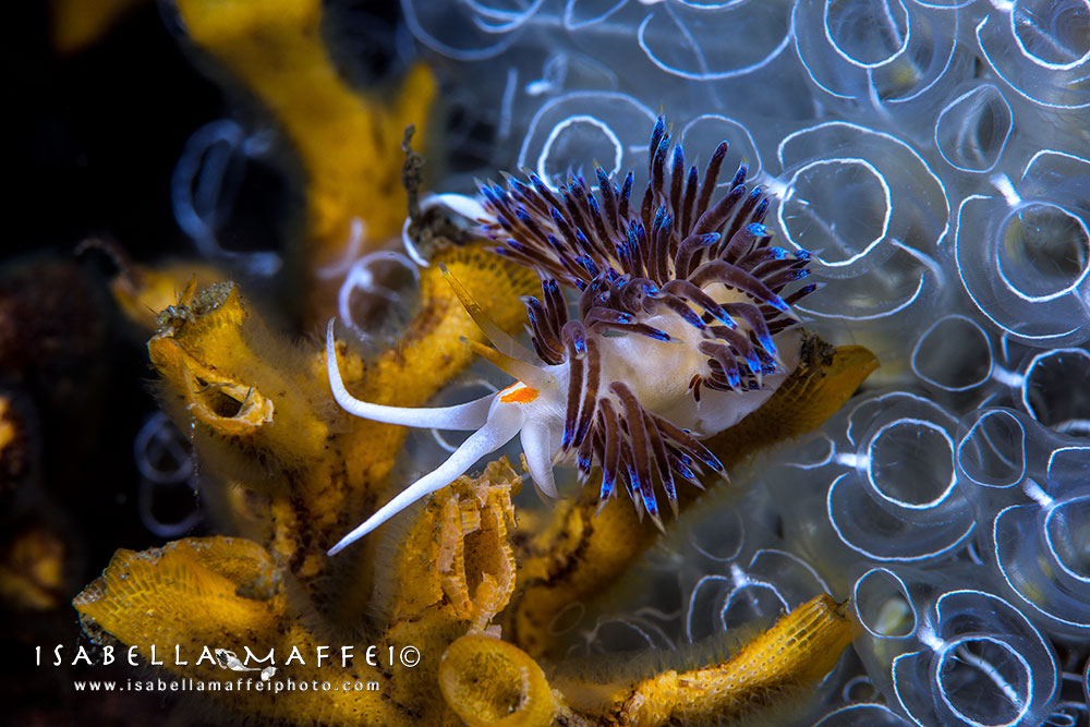 "<img src=""nudibranch"" alt="" nudibranch Cratena peregrina isabella maffei underwater photographer "">"