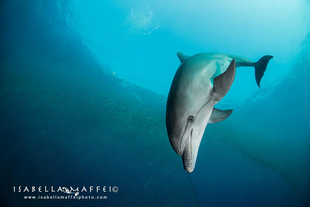 "<img src=""bottlenose dolphin "" alt="" bottlenose dolphin trapped in a net isabella maffei underwater photographer "">"