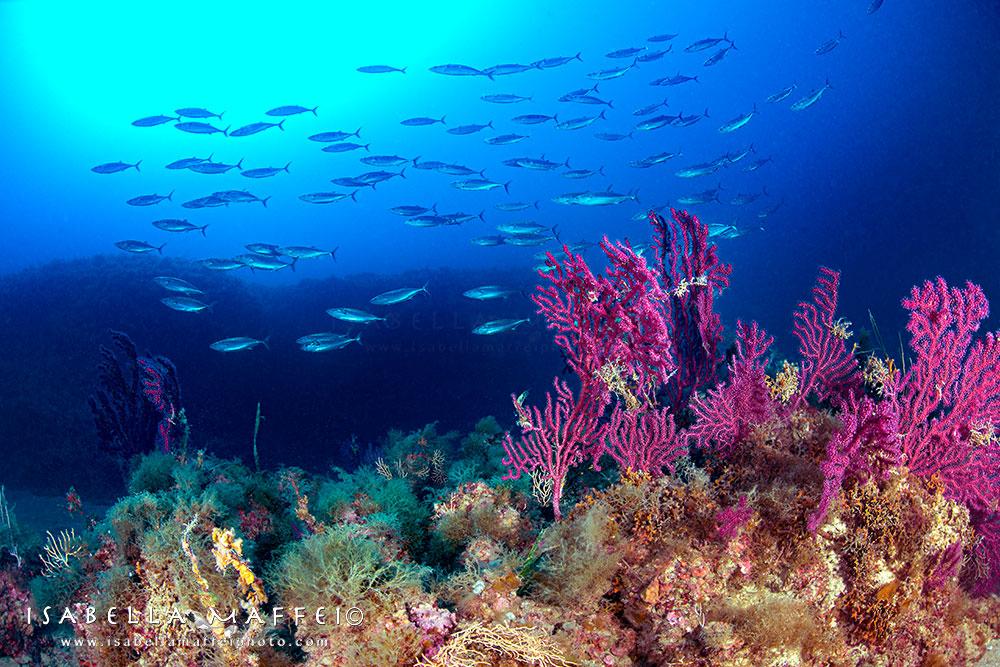 """<img src="""" sea fan """" alt="""" sea fan in mediterranean sea isabella maffei underwater photographer """">"""