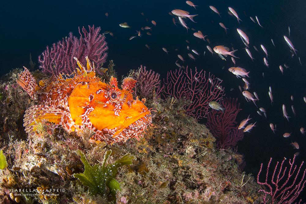 "<img src="" PORTOFINO_4 "" alt="" PORTOFINO_4 isabella maffei underwater photographer "">"