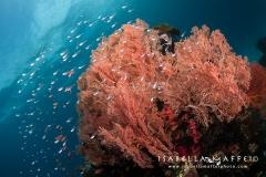 """<img src=""""sea fan """" alt="""" sea fan in Raja Ampat isabella maffei underwater photographer """">"""