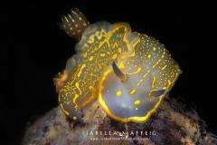 "<img src=""nudibranch"" alt="" nudibranch Felimare picta isabella maffei underwater photographer "">"
