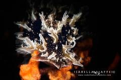 "<img src=""nudibranch"" alt="" nudibranch isabella maffei underwater photographer "">"