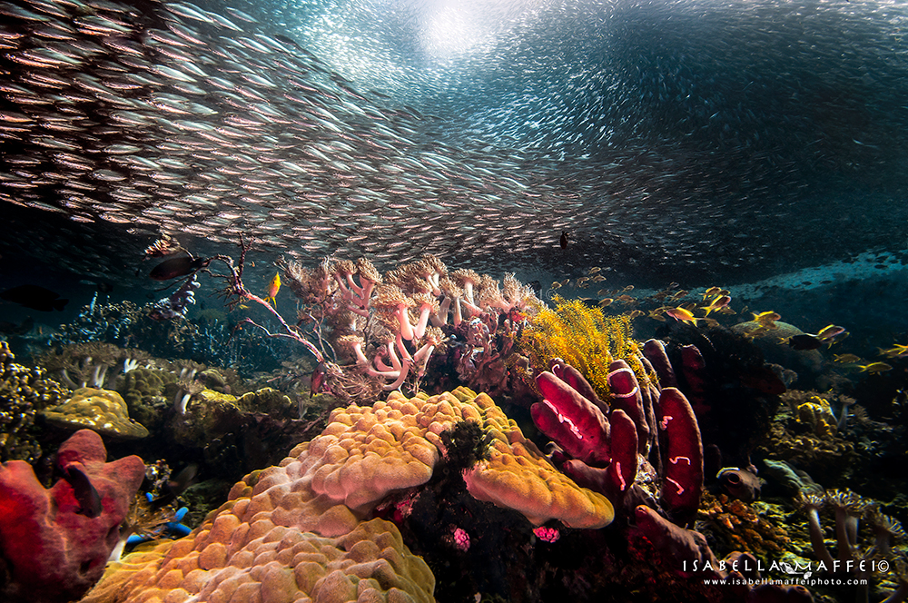 Philippines-School-of-sardines